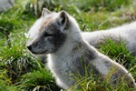 Arctic Fox, Polar Fox (Alopex lagopus)